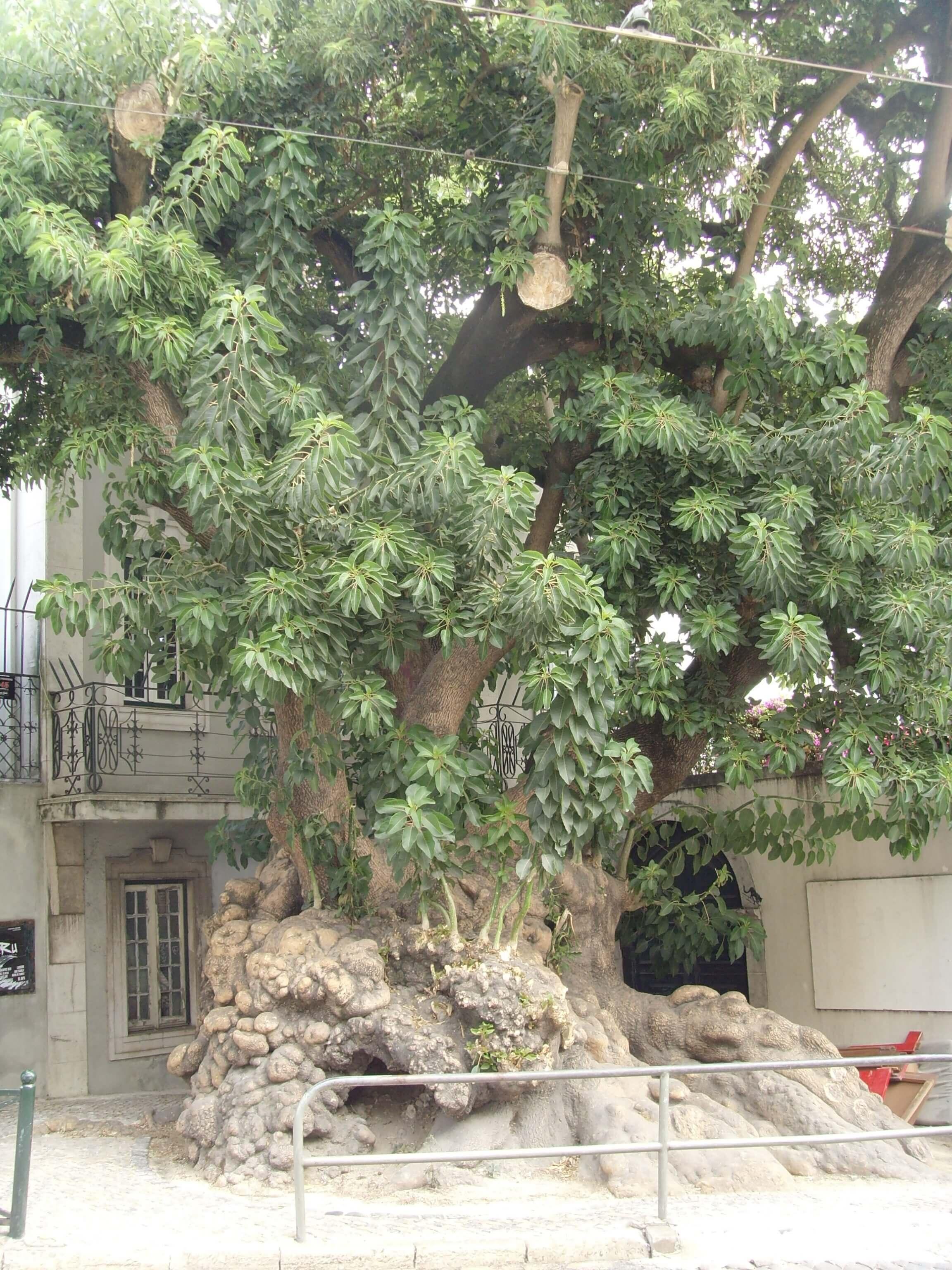 Rondreizen Portugal Lissabon oude boom