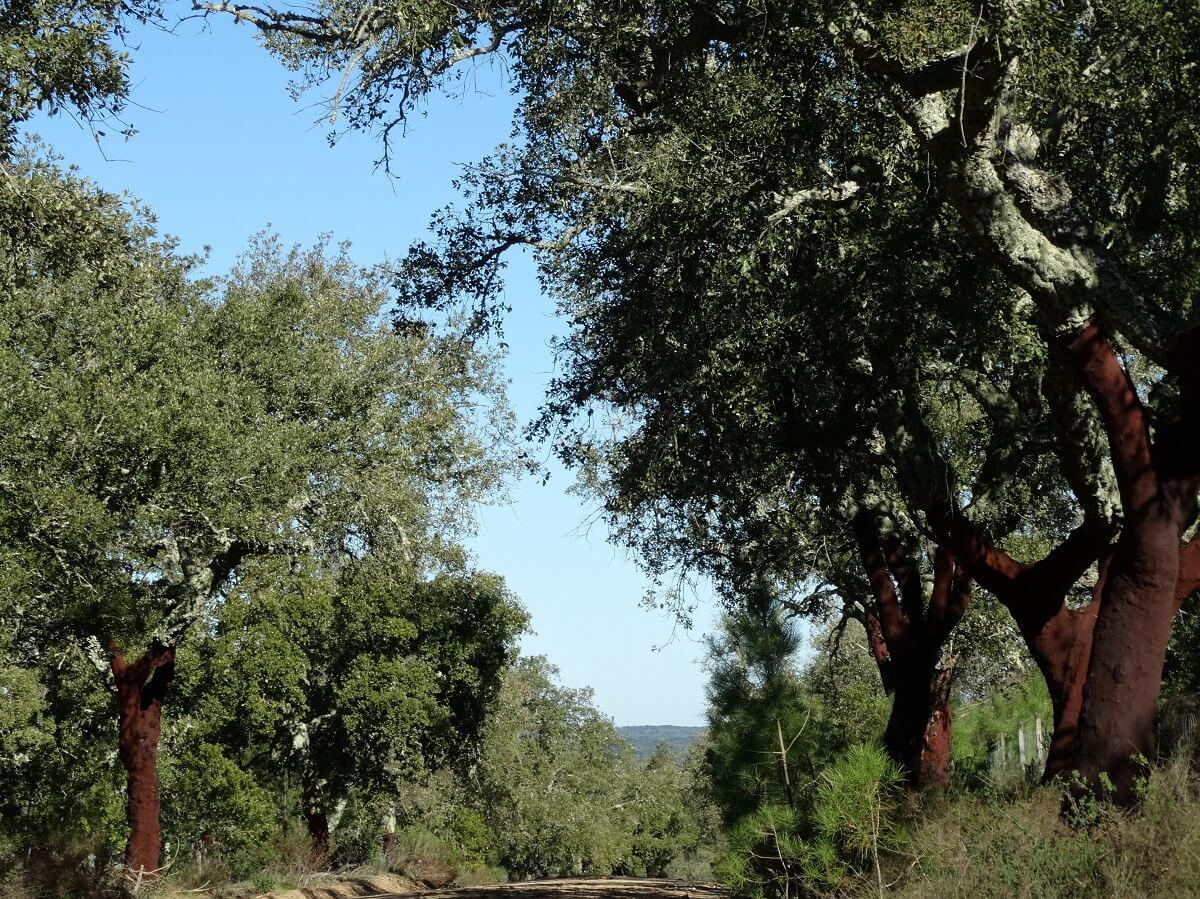 Kurkeiken nabij Evora